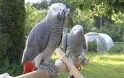 здоровый и очаровательные африканские серые попугаи на продажу