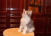 Предлагаются к резервированию  чудесные шотландские котята
