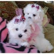 Мальтийские щенки Бишон прекрасной