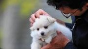 Великолепные щенки Померанский