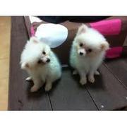 Сіндзі і Ace