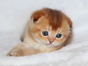 Продажа необычных окрасов шотландских и британских котят!